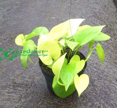 Tanaman Suruh Belanda Gantung bibit tanaman sirih gading belanda daun kuning gardener id