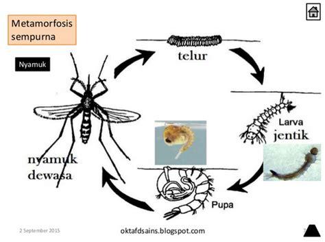 Gambar Dan Raket Nyamuk daur hidup hewan dan contohnya lengkap dengan gambar