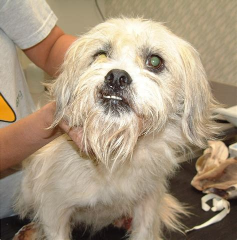 shih tzu rescue houston tx shih tzu rescue lhasa apso rescue breeds picture