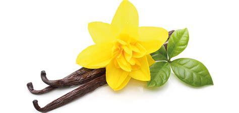Vanille Pflanze Kaufen 804 by Vanille Pflanze Kaufen Vanilla Planifolia Echte Vanille