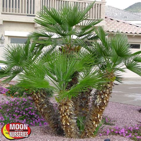 Mediterranean Palm   Palm Tree   Moon Valley Nurseries