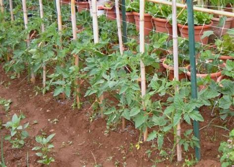 come potare i pomodori in vaso il pomodoro cuor di bue re degli orti tutto sulla