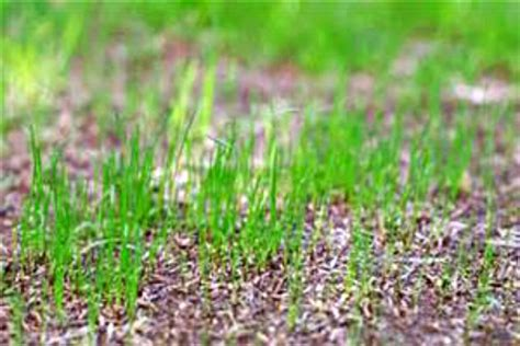couch grass seeds for sale tips on planting grass seed