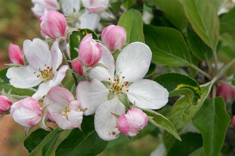 Blossom Free free wallpapers apple blossom wallpapers