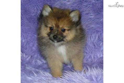 pomeranian coast meet a pomeranian puppy for sale for 750 delivery east coast