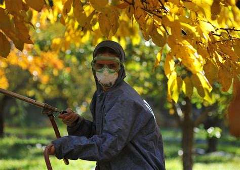 copper spray fruit trees spraying fruit trees with copper oxychloride flickr