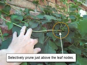 how to prune petiolaris climbing hydrangea landscapeadvisor