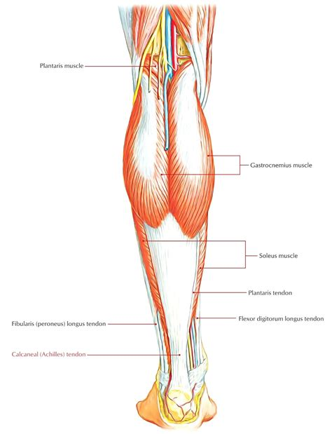 human tendons diagram diagram human leg tendons diagram
