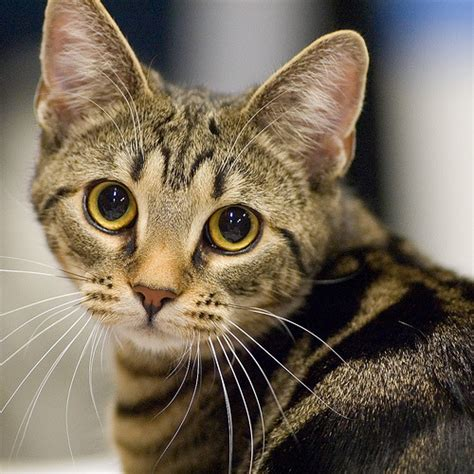 Cat Ct010 Brown Yellow 1 rarer cat breeds profile june by catcraze on deviantart
