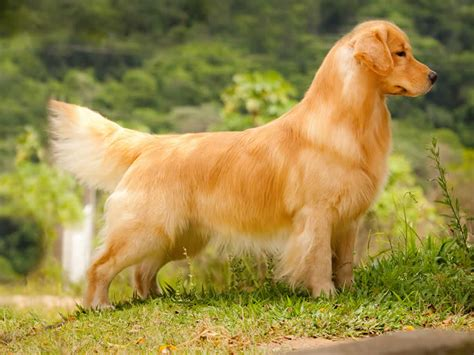 canil golden retriever canil forts goldens retrievers