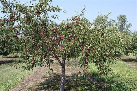 Cherry Orchards In Door County Wi by File Cherrytreebalatondoorcountywisconsin Jpg Wikimedia