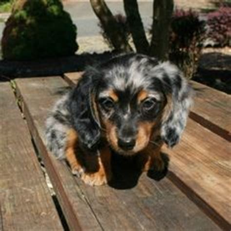 silver dapple miniature dachshund puppies for sale 1000 images about longhaired dachshunds on dachshund dapple dachshund