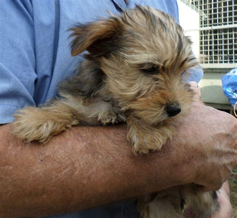 when is a yorkie no longer a puppy terrier x border terrier puppies thetford norfolk pets4homes