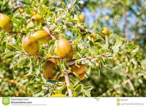 argan tree fruit argan fruits on tree royalty free stock photos image