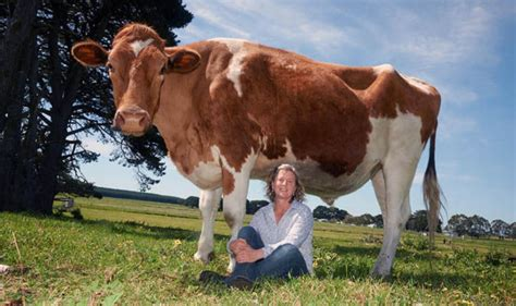 Still A Cow by Australian Cow Could Be The In The World And It