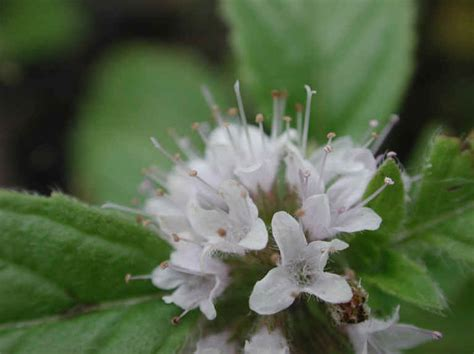 mint american or wild mentha arvensis 09 wild flowers of sleepy hollow lake from all