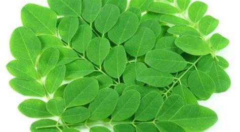 membuat zpt dari daun kelor manfaat daun kelor untuk kesehatan carabermanfaat