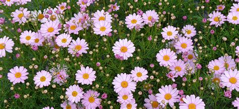 Winter Flowers federation daisies flower power