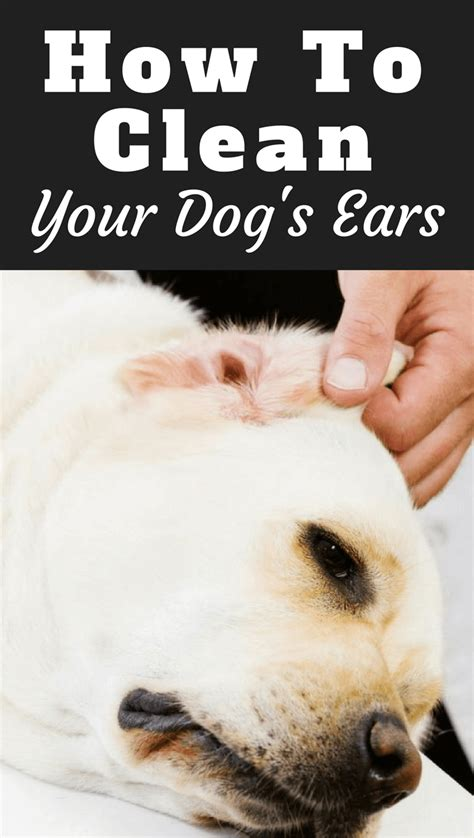 how to clean your s ears how to clean your labradors ears and why you should do it