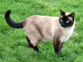 siamese colors siamese cat colors and patterns 2016 siamese cats