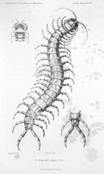 tsammalex scolopendra