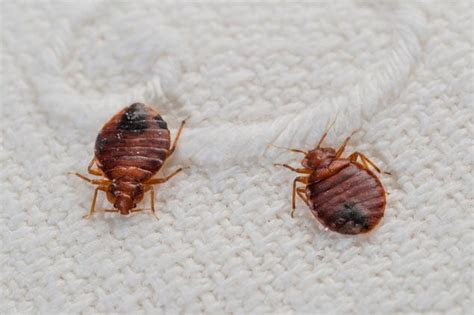 image bed bug get rid of bed bugs yourself yes you can it s easier