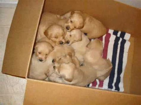 golden retriever puppies 1 week golden retriever puppies 19 days to 6 weeks
