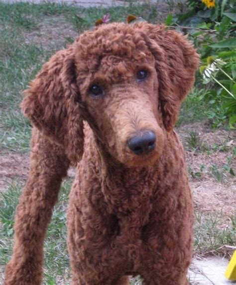 Hair Short Poodle Bonde Hair Cuts | 30 poodle haircuts you ll definitely love hairstylec