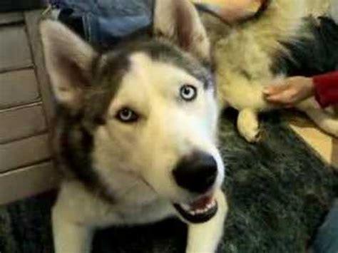 husky is not american or russian it is turkish race