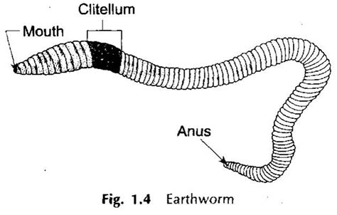 general earthworm diagram mageebio11spring2012 just another site