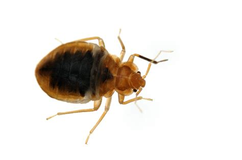 how do bed bugs travel 5 things you need to know to avoid bed bugs when traveling