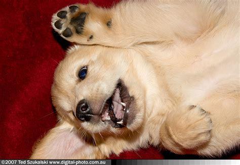 golden retriever that stays puppy size golden retriever puppy buttercup mg 1848