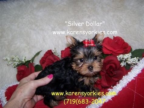 puppies for sale 20 dollars karens yorkies yorkie puppies for sale yorky breeder has many yorky puppies yorkie