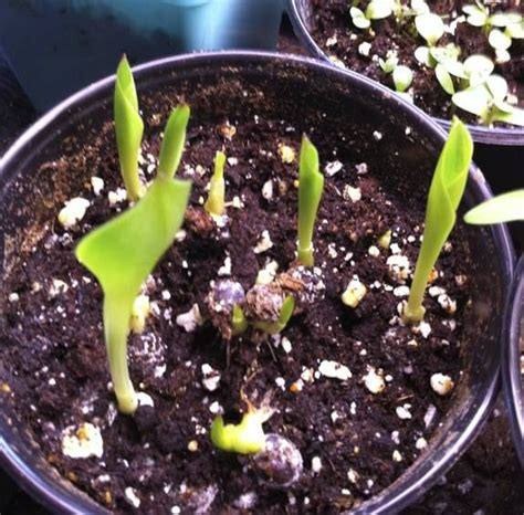 how to grow calla lily seeds with pictures and step by