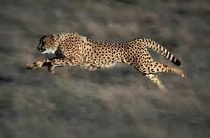 Jaguars Running Jaguar Thinglink