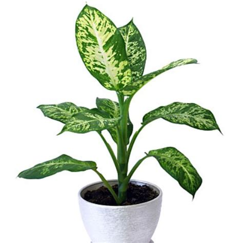 easy  grow houseplants   light homes