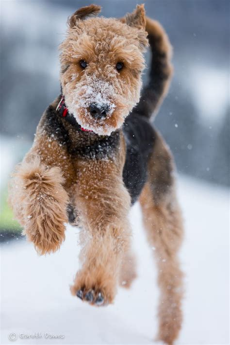 Airedale terrier in the snow | Just for dogs | Pinterest