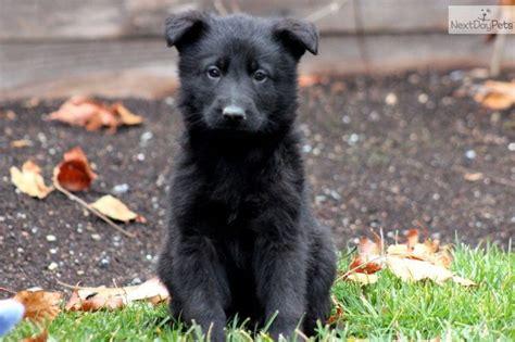 all black german shepherd puppies all black german shepherd german shepherds are the bomb