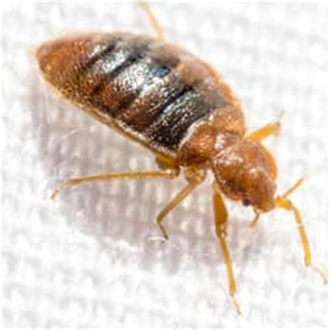 Can You Feel Bed Bugs Crawl On You by Top 10 Places To Find Bed Bugs