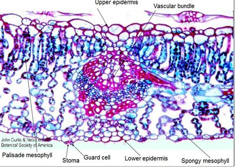 cross section dicot leaf flashcards angiosperm and gymnosperms virtual lab