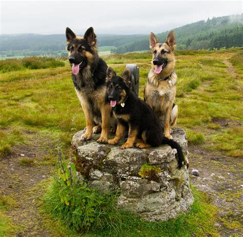 are german shepherds family dogs german shepherds and children are they a match personal and family protection dogs