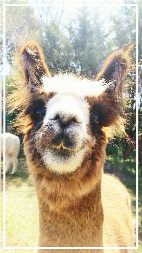 Gorgeous Alpaca From by The World S Catalog Of Ideas