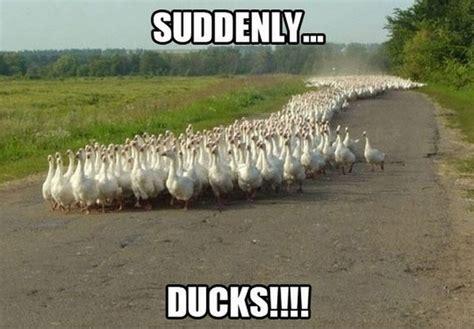 Funny Duck Meme - animal memes that crack me up
