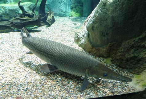 ikan aligator ikan hias purba yang mirip buaya kuya hejo