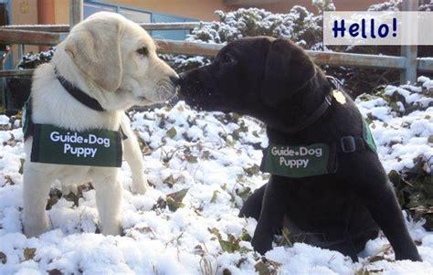guide dogs for the blind guide dogs for the blind pups