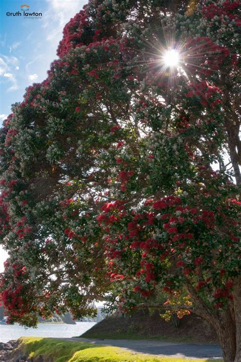 best real christmas tree nz 93 best images about pohutukawa new zealand s tree on trees