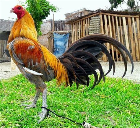 videos de mejores razas de gallos navajeros peruanos videos de mejores razas de gallos navajeros peruanos venta