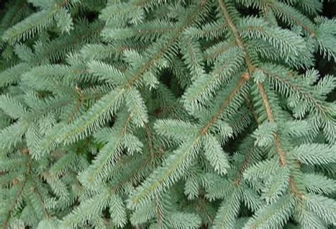 images different types of christmas trees tree types bob vila