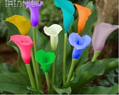 100 colorful calla lily seeds rainbow plants flowers