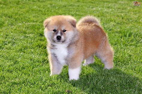 japanese akita japanese akita inu health and longevity pets4homes